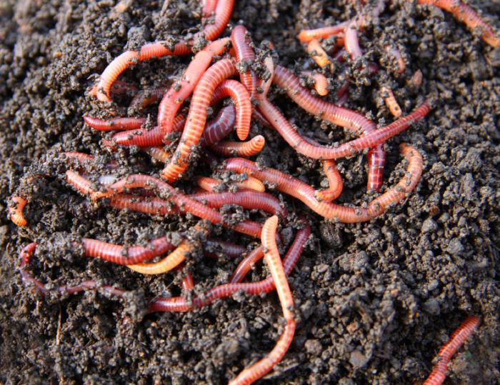 Red Wigglers
